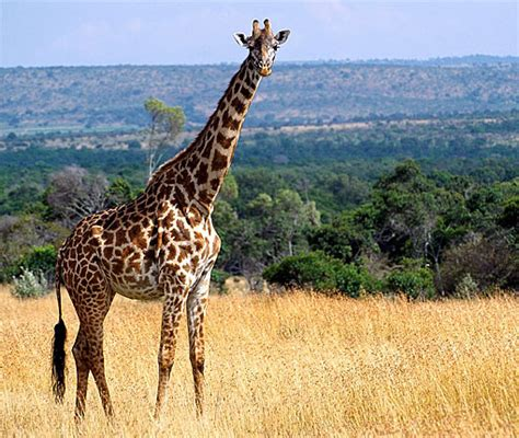 What is the average height and weight of an adult giraffe jpg 510x431